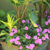Alocasia Boa with NG Impatiens Fanfare Orchid