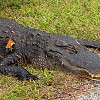 Photo of an alligator by Bandini/Morguefile.com.