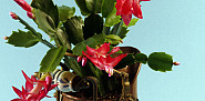 This Christmas cactus looks gorgeous in an antique copper pot. (Photo: spider56/istockphoto.com)