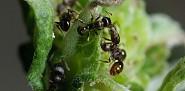 Pavement ants. Photo by mehampson/istockphoto.com.