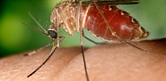 The Culex quinquefasciatus mosquito is known as a vector of West Nile Virus. Photo: sajvadorjo/wikimedia commons.