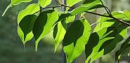 Ficus by ndrwfgg via Flickr