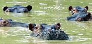 Pablo Escobar's hippos. www.ficg/sxc.hu