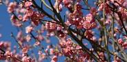 Prunus mume (Japanese apricot). Photo by Erica Glasener.