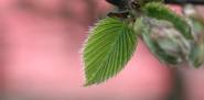 A hornbeam leaf.  Photo: ArminH/stock.xchng