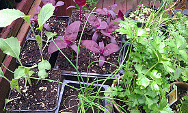A dazzling array of self-seeders, including purple orach (center), one of my personal favorites. Photo: rebecca f/Flickr