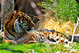 One of the rare Sumatran tigers who calls the Phoenix Zoo home. Photo: 5of7/Flickr.com
