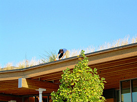 Those aren't weedy gutters! That's a living roof on one of Seattle's libraries.   Photo: benet2006/Flickr