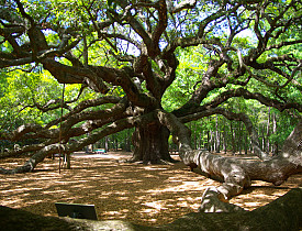The Angel Oak Tree is a legendary oak tree in John's Island, SC. Photo by Charleston's TheDigitel/Flickr.