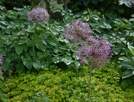 Allium christophii, Lysimachia and Epimedium.  Photo by Erica Glasener.
