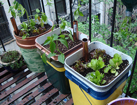 Food grows on the author's former Manhattan fire escape. Photo by Mike Lieberman.