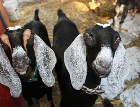Nubian goats on Marty Johnson's farm. Photo by s.e. smith.