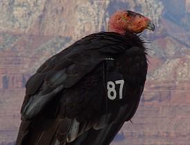 The California Condor is endangered due to habitat loss and hunting. (Photo: elvis santana/sxc.hu)