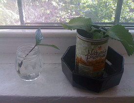 Networx practices what it preaches. Here is a tin can planter in a Networx writer's apartment.