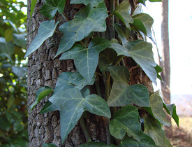 Photo of ivy climbing up a tree by mrmac04/morguefile.com.