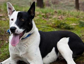 Domino is a Border Collie/Siberian Husky mix. Contact the Seattle Humane Society to adopt him.