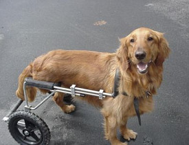 An amputee enjoying mobility with a custom-made dog wheelchair from Eddie's Wheels. Photo via EddiesWheels.com.