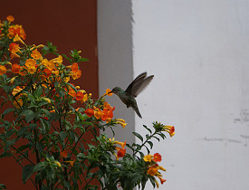 A hummingbird visits a flower. (magicmonkey/Flickr)