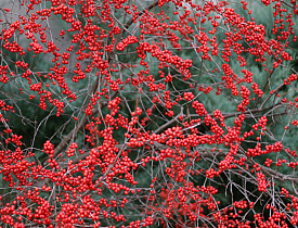 A deciduous holly in landscape, Ilex verticillata. Photo by Erica Glasener.