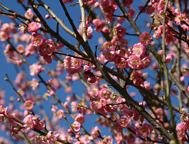 Prunus mume (Japanese apricot). Photo by Erica Glasener.