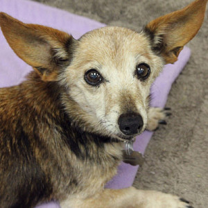 Peaches is a Dachshund/Rat Terrier mix who lives at the Kansas City Humane Society.