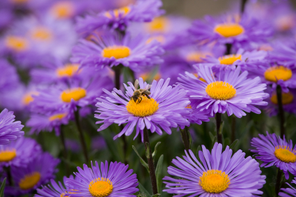 Asters Flowers Annual Don 39 t Plant Annual Asters in