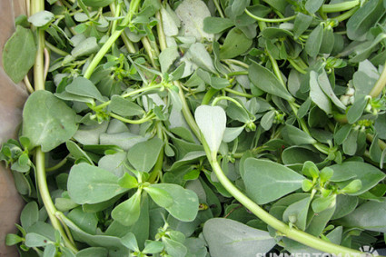 Purslane.  Photo: SuperTomato/flickr