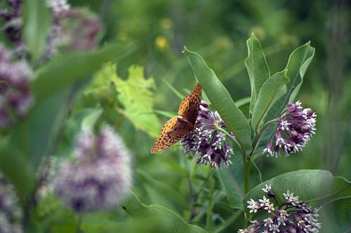 A butterfly feeds on a milkweed bloom. Photo by wattsup/sxc.hu.