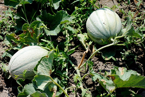 Photo of green melons in an organic garden by poseidone/istockphoto.com.