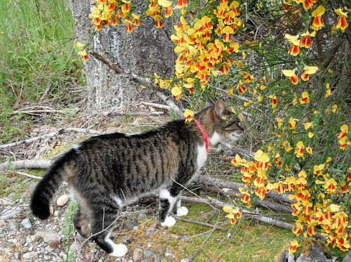 A cat sniffs Scotch Broom. Photo by photogirl7.1/Flickr.