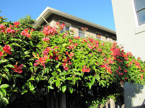 Photo of trumpet vine growing on a fence by portmanteaus/Flickr.
