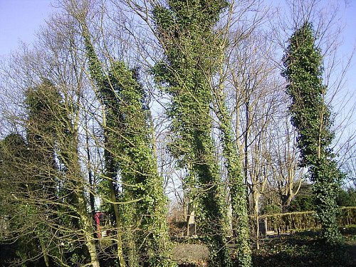 English Ivy chokes trees in the Netherlands. Photo by TeunSpaans/Wikimedia Commons.
