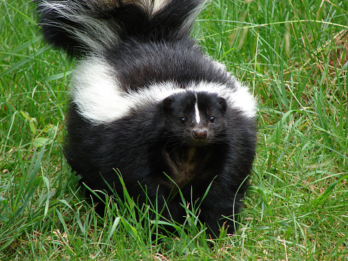 Photo of striped skunk by torli/sxc.hu.